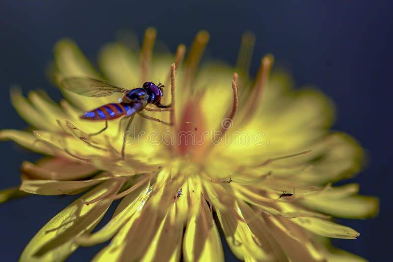 Оранжевый и голубой striped hoverfly отдыхать на цветке одуванчика стоковое изображение