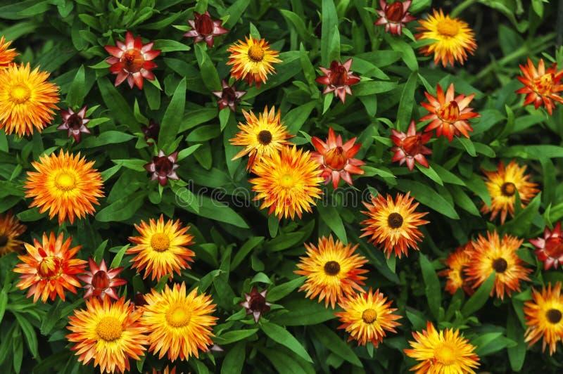 Оранжевый и желтый сад Strawflowers стоковое изображение
