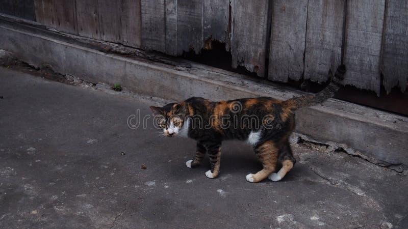 Оранжевый и черный котенок с серым backgroud тона стоковые изображения rf