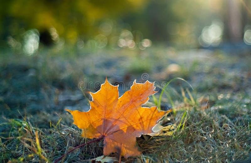 Оранжевый кленовый лист на траве в изморози стоковые фото