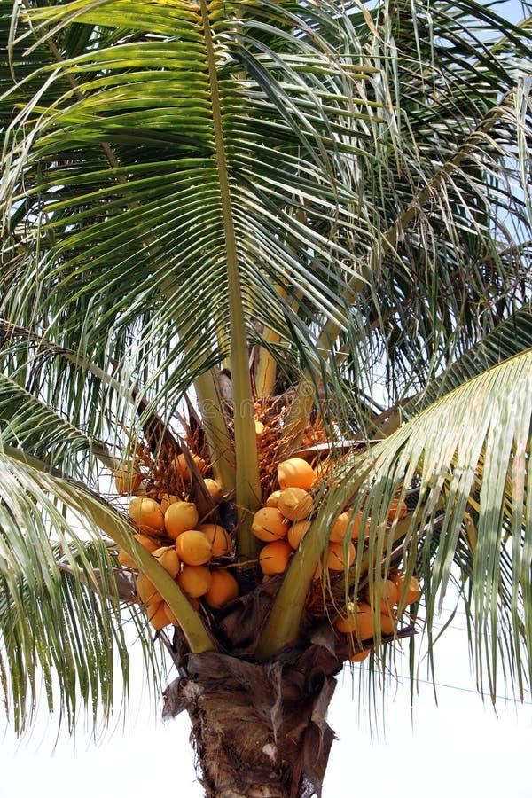 Оранжевый кокос на кокосовой пальме свежий молодой кокос, тропические плодоовощи ингридиент в десертах стоковые изображения