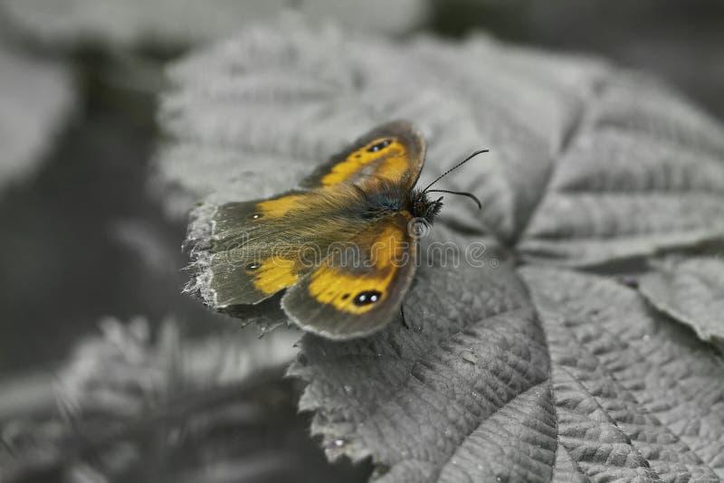 Оранжевый конец бабочки привратника вверх по цвету стоковое изображение rf