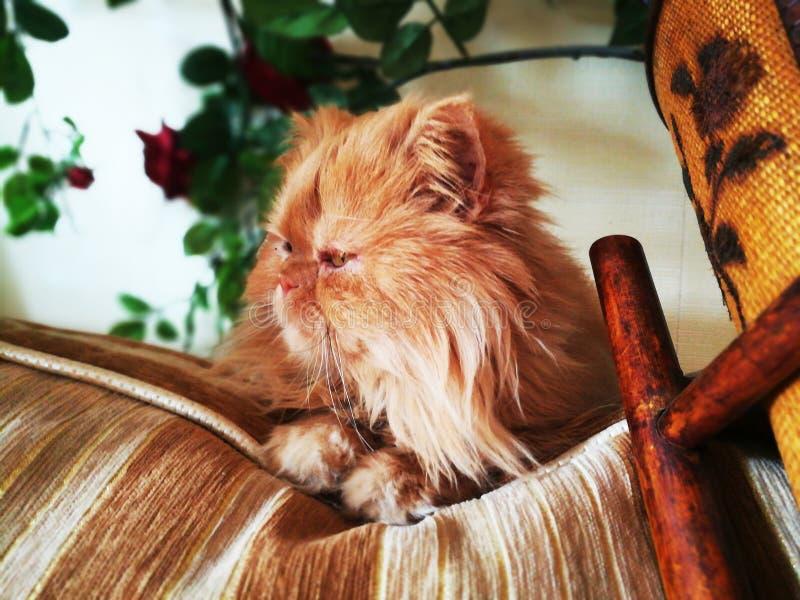 Оранжевый красивый пушистый персидский кот стоковая фотография