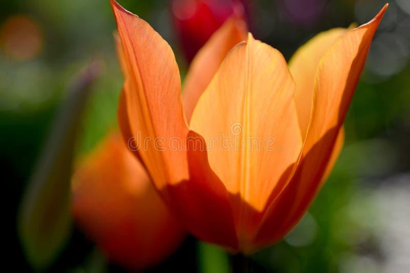 Оранжевый крупный план 01 тюльпана стоковое фото rf