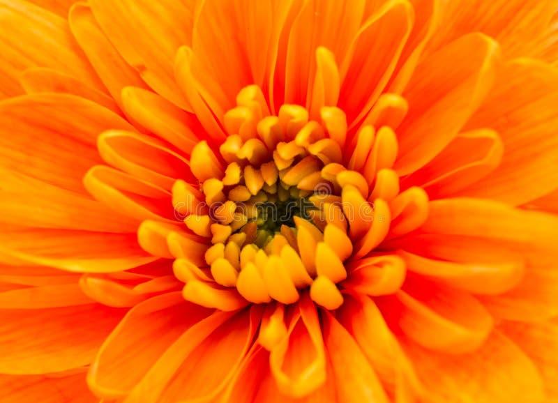 Оранжевый крупный план центра цветка хризантемы стоковое изображение rf