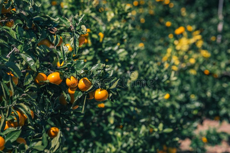 Оранжевый плод на дереве в саде стоковые изображения rf