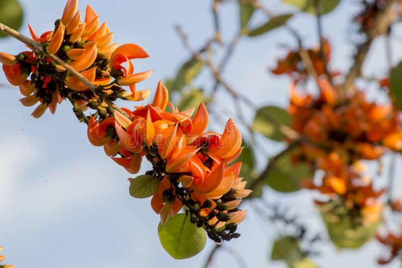 Оранжевый драчевый Teak в джунглях стоковые изображения rf