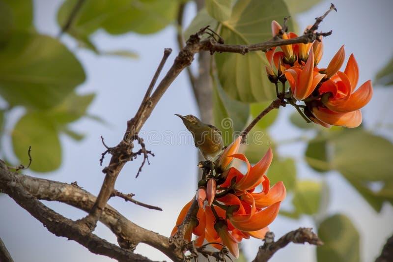 Оранжевый драчевый Teak в джунглях стоковые изображения