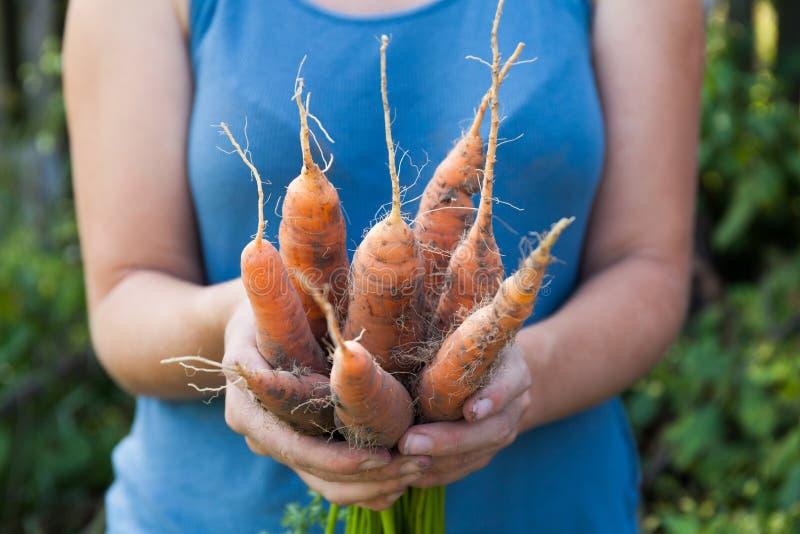 Оранжевый сбор моркови, овощ завода корня agriculture organic стоковое изображение rf