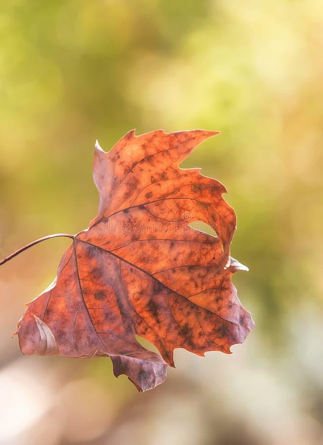оранжевый сухой кленовый лист осени стоковая фотография