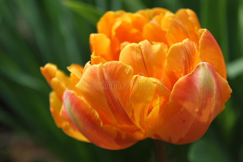 Оранжевый тюльпан/расплывчатая предпосылка стоковая фотография