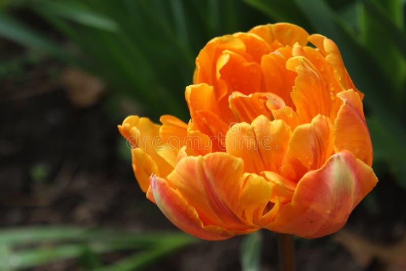 Оранжевый тюльпан/расплывчатая предпосылка стоковые фотографии rf