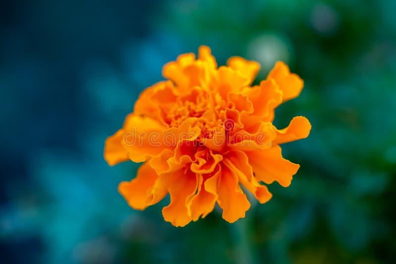 Оранжевый цветок гвоздики стоковое изображение rf