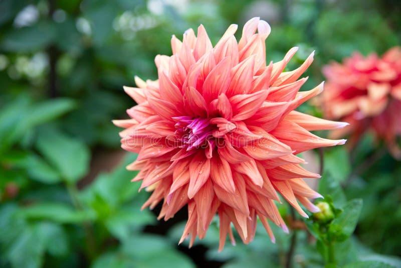 Оранжевый цветок георгина стоковая фотография