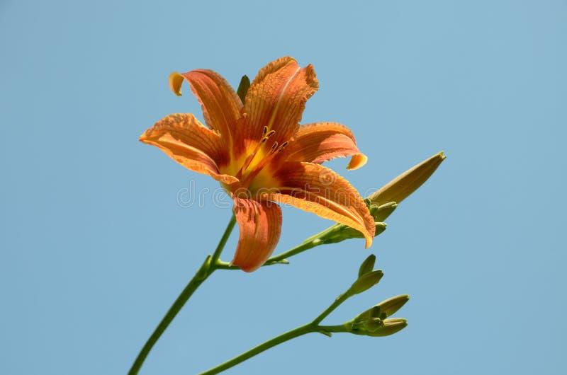 Оранжевый цветок лилии с предпосылкой голубого неба бутонов право на в природе стоковая фотография rf