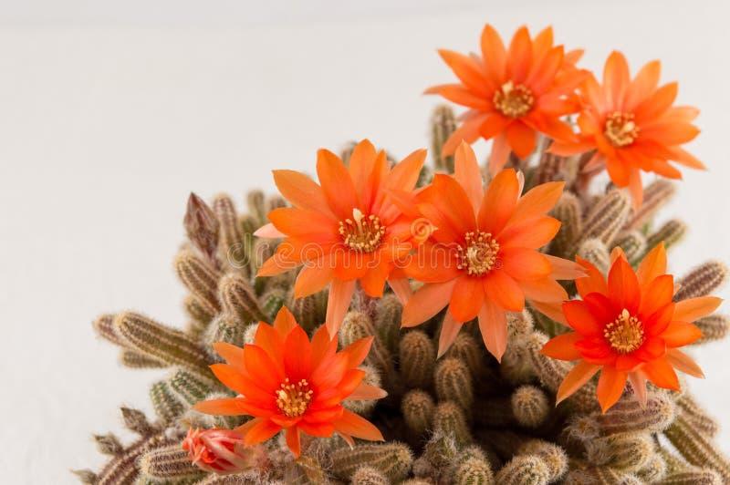 Оранжевый цветок кактуса на белой предпосылке стоковые фотографии rf