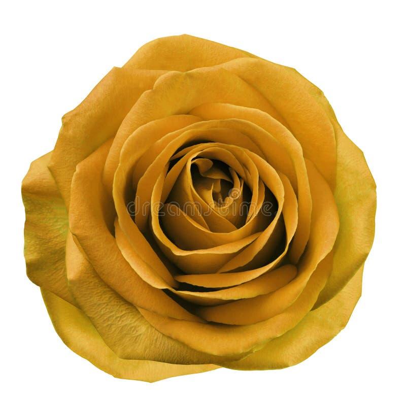 Оранжевый цветок поднял на предпосылку изолированную белизной с путем клиппирования Отсутствие теней closeup Для конструкции стоковое фото rf