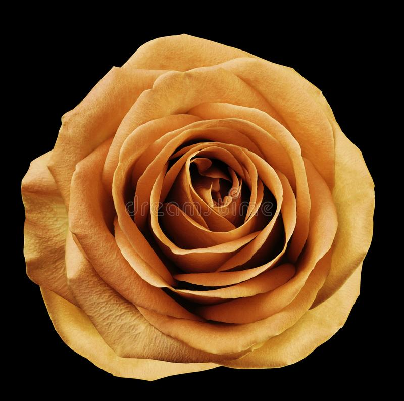Оранжевый цветок поднял на черную предпосылку с путем клиппирования Отсутствие теней closeup Для конструкции стоковое фото rf