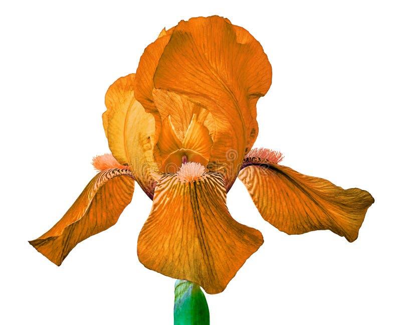 Оранжевый цветок радужки изолированный на белой предпосылке Конец-вверх стоковые изображения rf