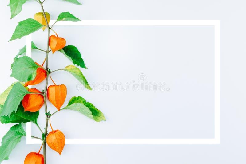 Оранжевый цветок alkekengi физалиса с рамкой стоковые изображения