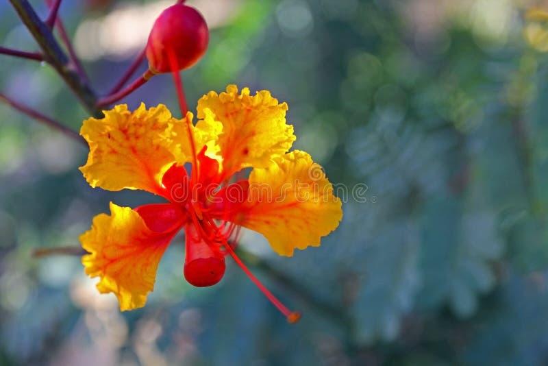 Оранжевый цветок Caesalpinia стоковая фотография