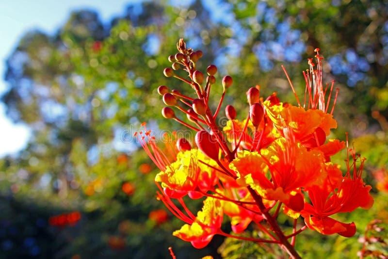 Оранжевый цветок Caesalpinia стоковое изображение rf