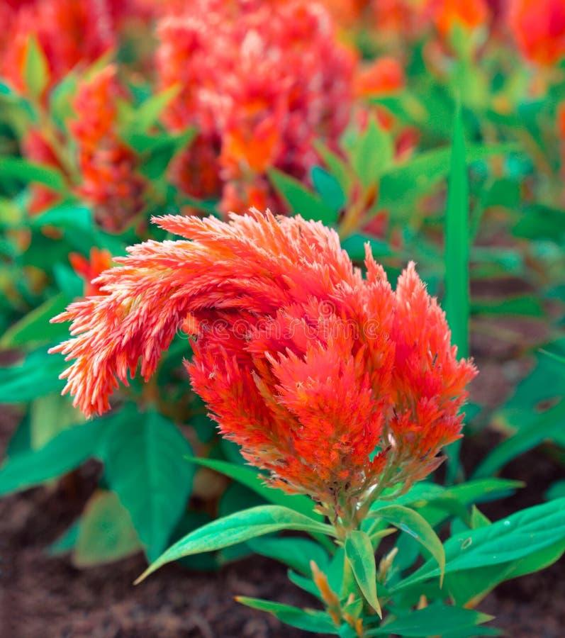 Оранжевый цветок Cockscomb стоковое изображение rf