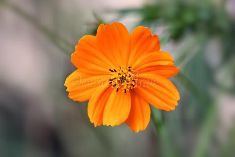 Оранжевый цветок cosmo стоковое изображение rf