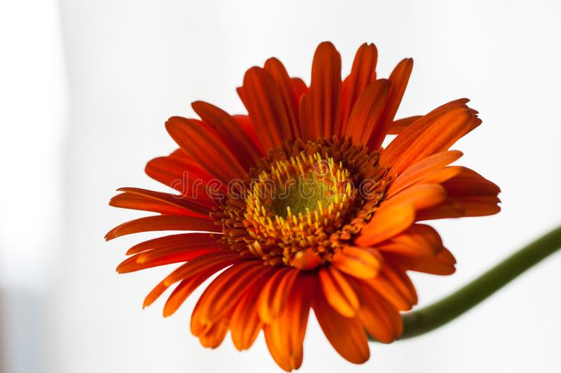 Оранжевый цветок gerber изолированный на белой предпосылке стоковое фото
