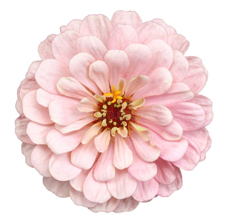 Оранжевый цветок zinnia стоковые фотографии rf