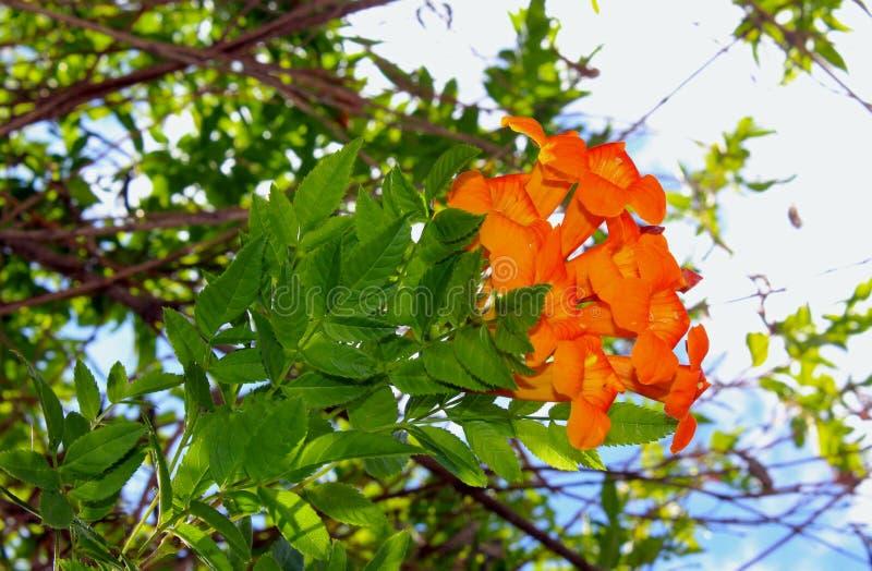 Оранжевый юбилей, оранжевые колоколы стоковые изображения rf