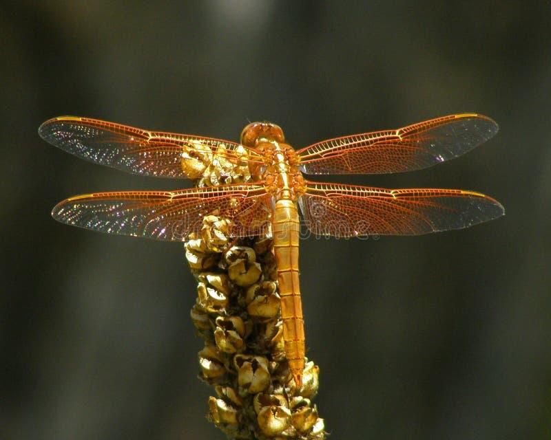 Оранжевый Dragonfly шумовки Firey на сухом черенок Mullein стоковые изображения rf