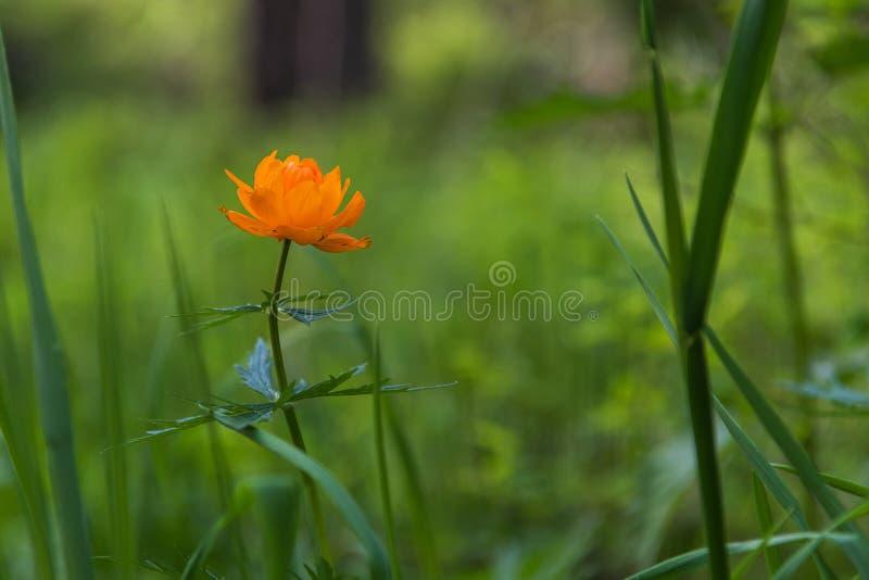 Оранжевый trollius цветков стоковые фото