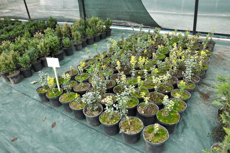 Оранжерея для растя саженцев орнаментальных кустов и деревьев стоковое изображение rf