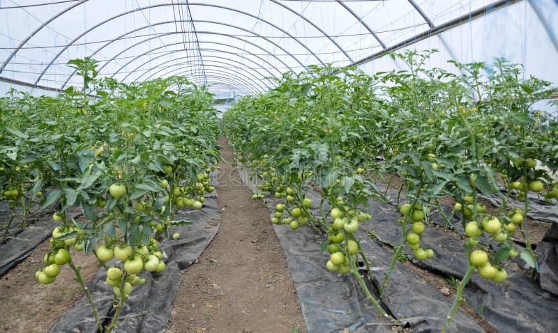Оранжерея для растя томатов стоковые фото