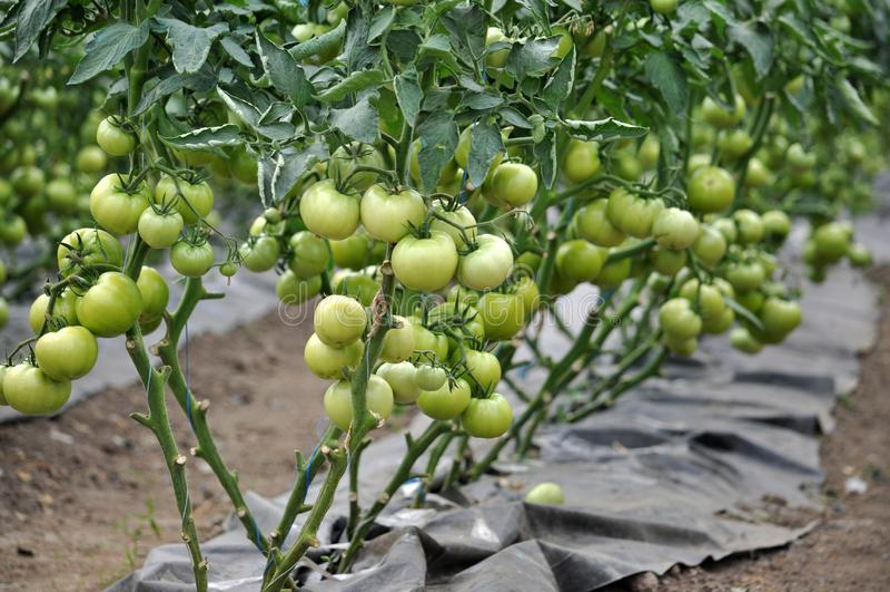 Оранжерея для растя томатов стоковое фото
