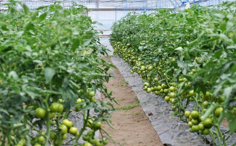 Оранжерея для растя томатов стоковые изображения rf