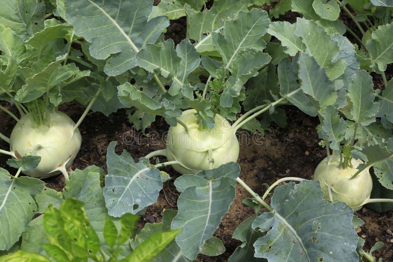 Органическая кольраби растя в огороде стоковое фото rf