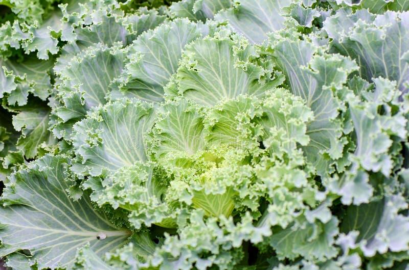 Органическая орнаментальная leaved листовая капуста стоковые изображения rf