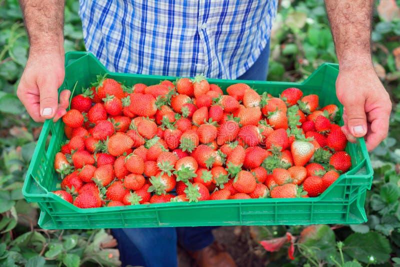 Органическая продукция плодоовощ Фермер держа клеть полный свежих клубник стоковые фото