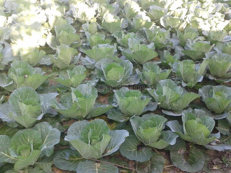 Органическая ферма капусты стоковые изображения rf