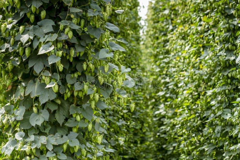 Органическая ферма хмелей для пива заваривать стоковая фотография
