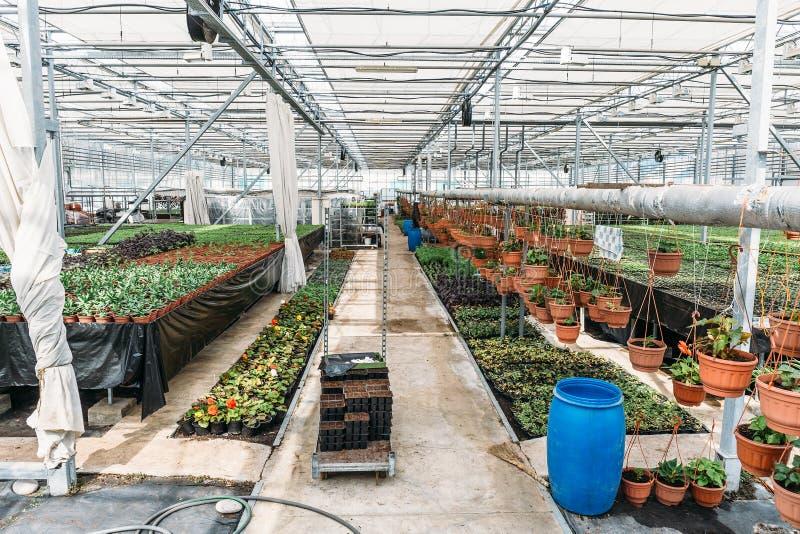 Органическая hydroponic ферма питомника культивирования орнаментальных заводов Большой современный парник стоковые изображения