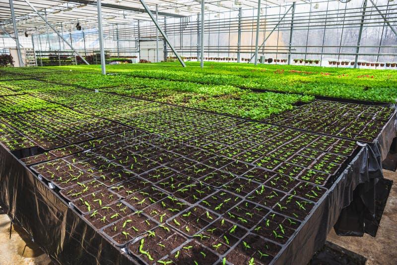 Органическая hydroponic ферма питомника культивирования орнаментальных заводов Большой современный парник стоковая фотография