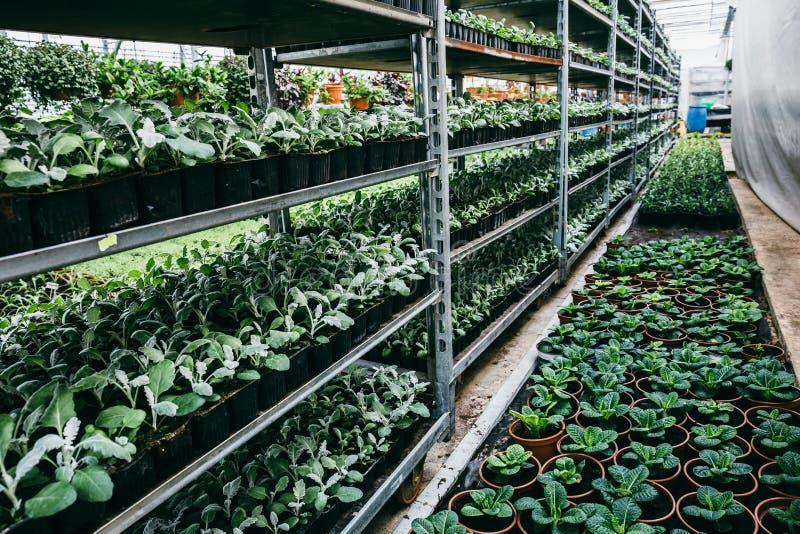 Органическая hydroponic ферма питомника культивирования орнаментальных заводов Большие современные оранжерея или парник стоковые изображения rf