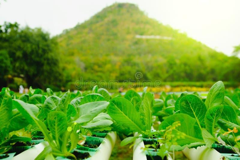 Органическая hydroponic vegetable ферма культивирования на сельской местности, Таиланде стоковые фото