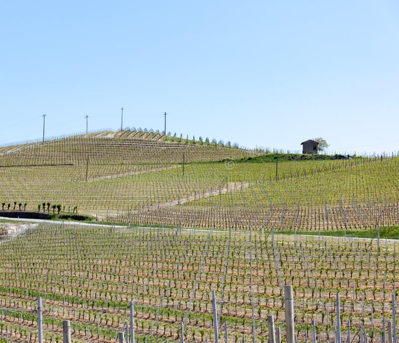 Органические виноградники в Италии Весенний сезон, солнечный день Дворы лозы стоковые фото