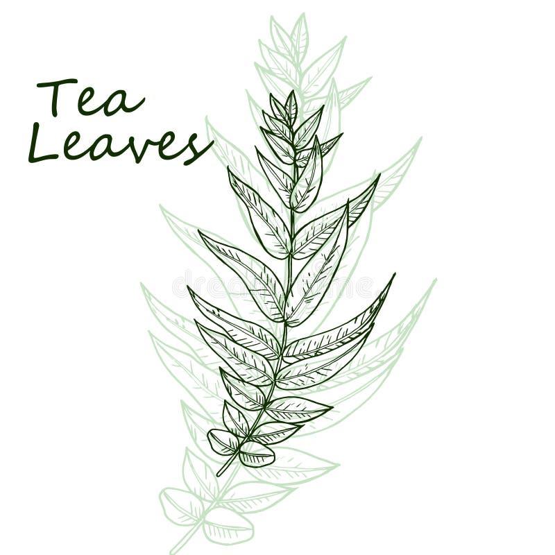 Органические зеленые белые лист чашки магазина черного чая, косметика шаблона вектора фасоли нарисованная рукой упаковывая иллюстрация вектора