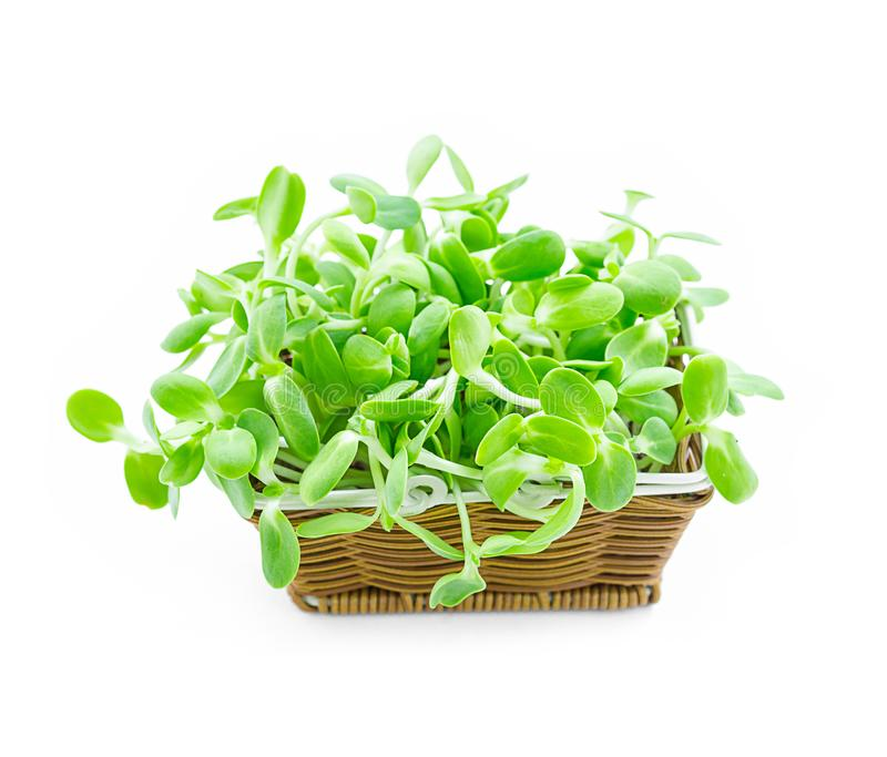 Органические зеленые молодые ростки солнцецвета в корзине стоковое изображение rf