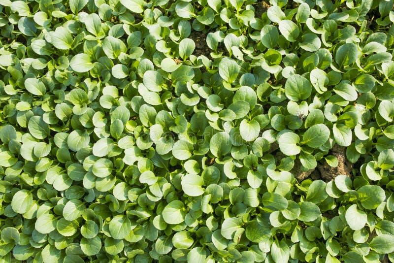 Органические зеленые овощи стоковая фотография